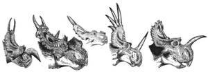 Ceratopsids 1