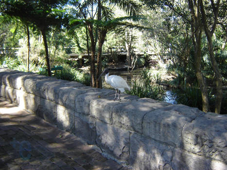 Ibis on a stone ledge