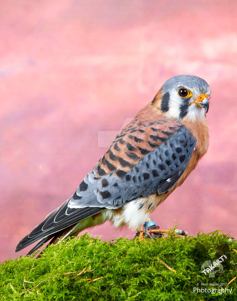 Orion the American Kestrel by Takarti