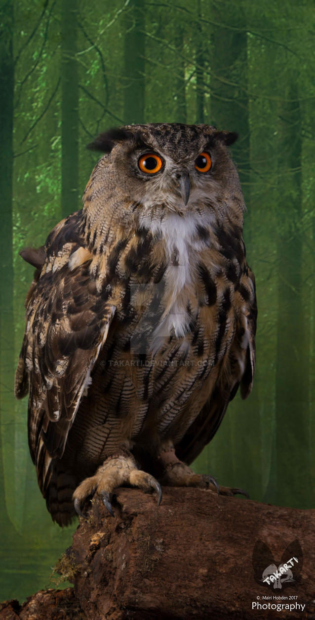 Taz the European Eagle Owl by Takarti