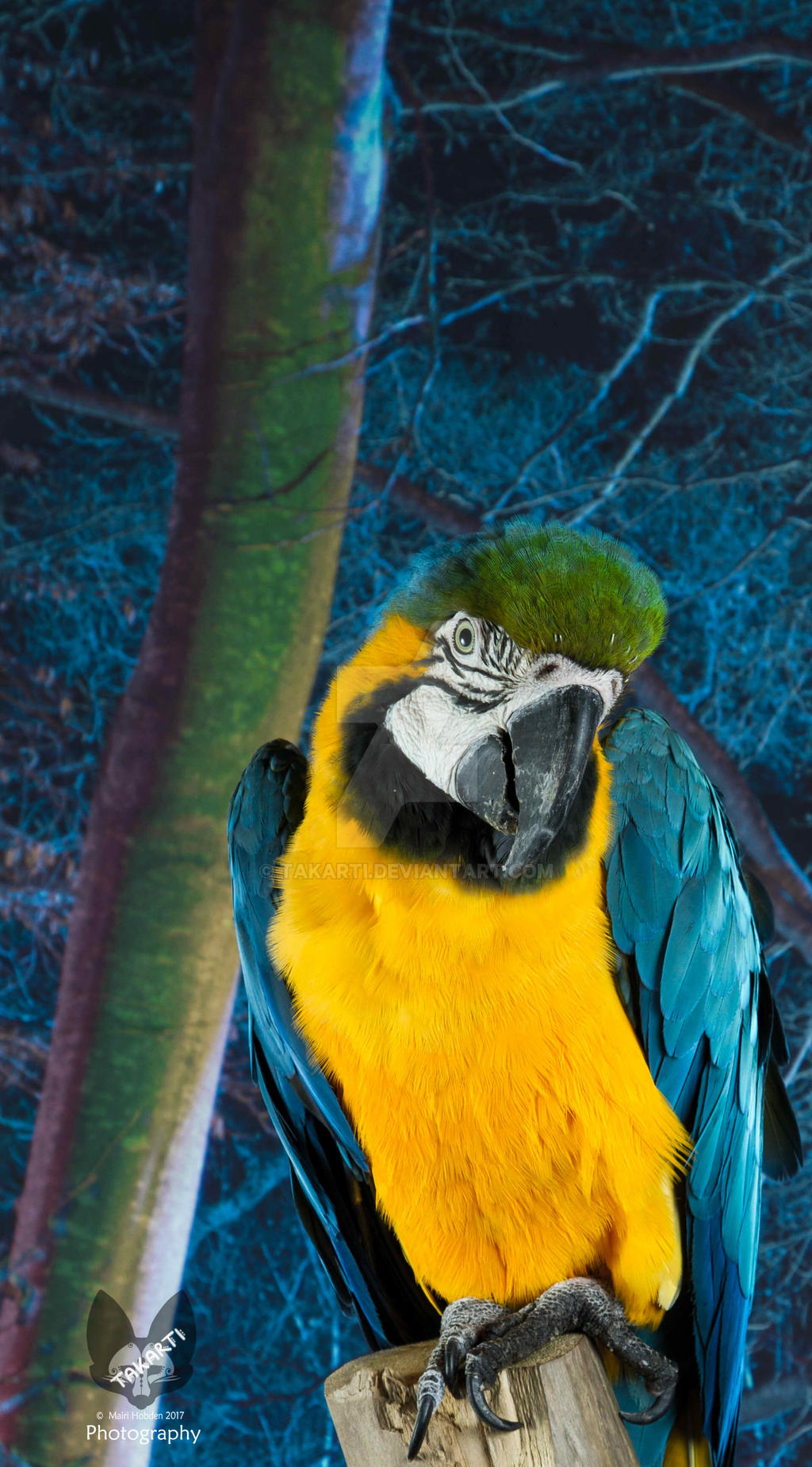 Basil the blue and gold Macaw by Takarti