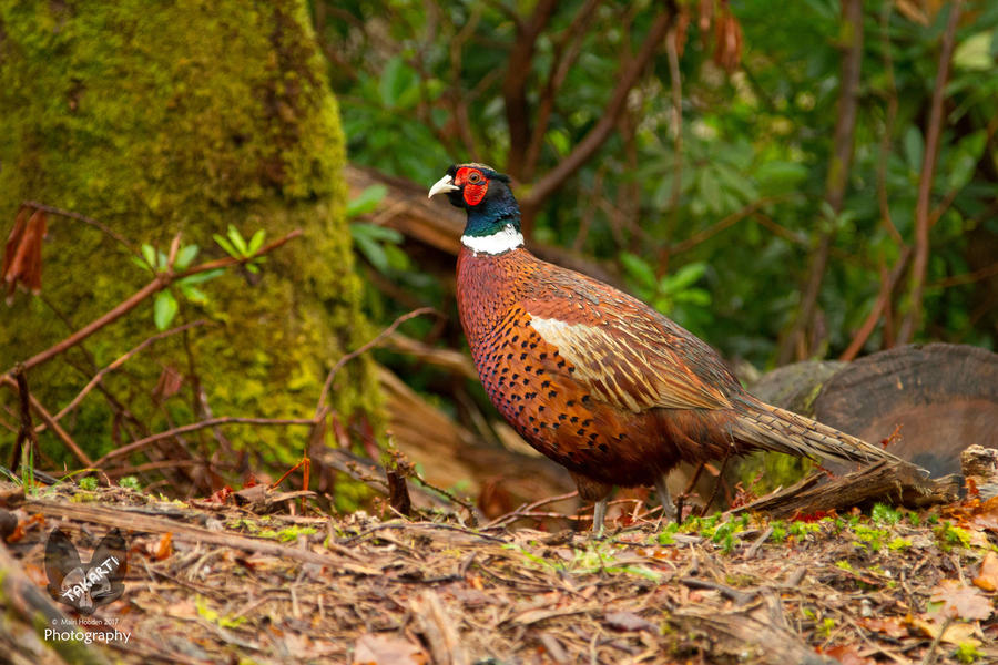 Glen Etive: Pheasant by Takarti