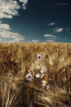 Fields Of Golden Wheat