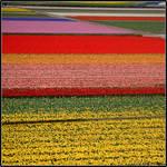 holland: flower field 1