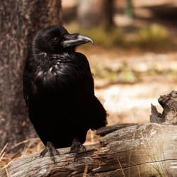 Corvidae by Queen-Kitty