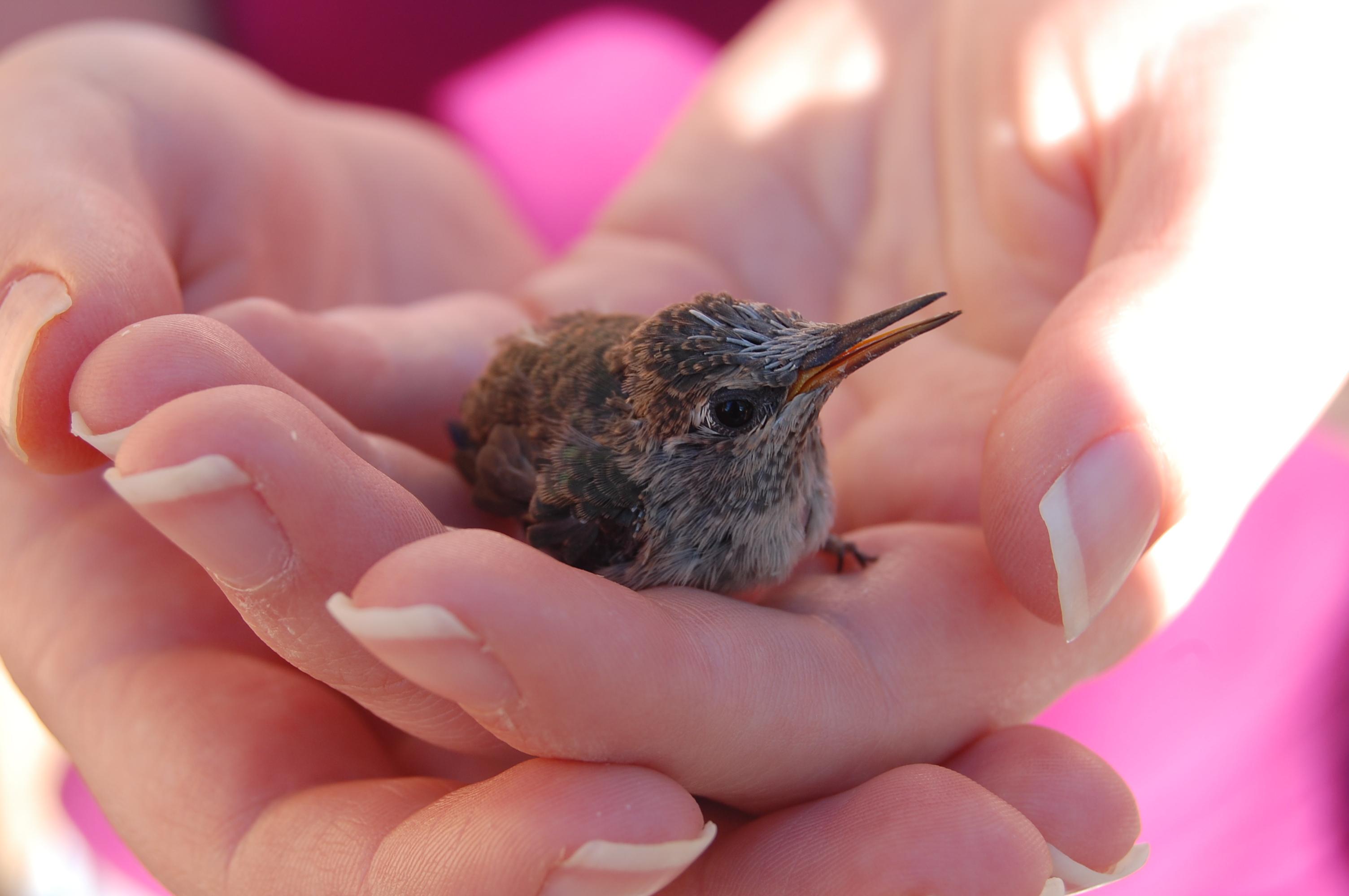 Baby Hummingbird : aww