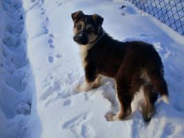 Winter dog.. by shetty05