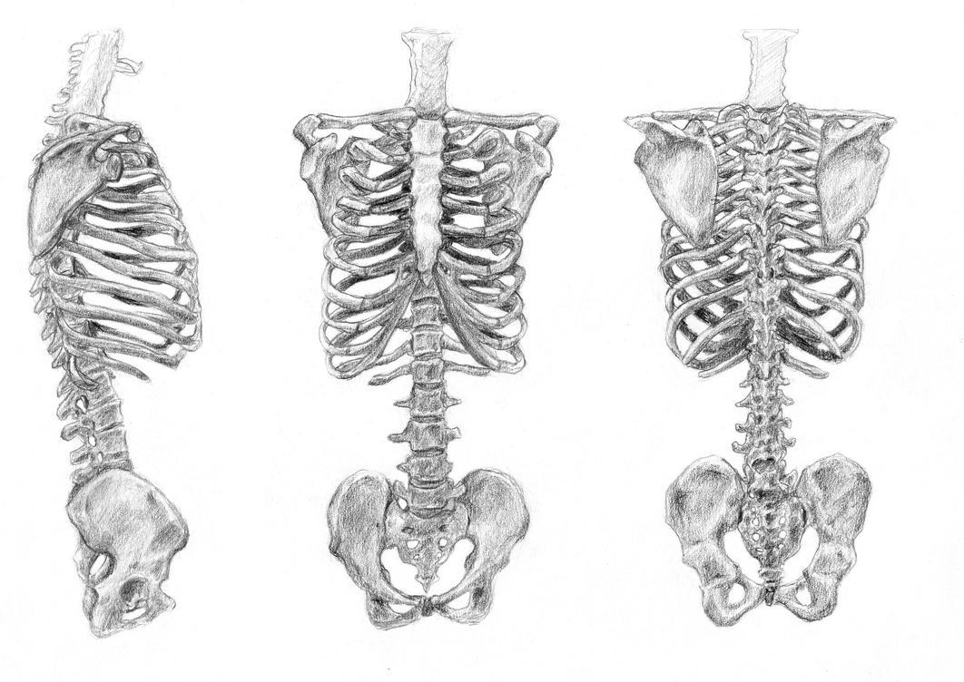 Bone Torso By Arvalis On Deviantart