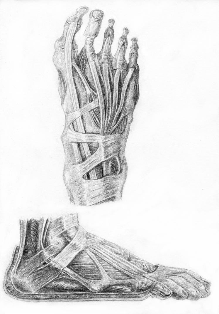 Muscles of the Foot by arvalis on DeviantArt