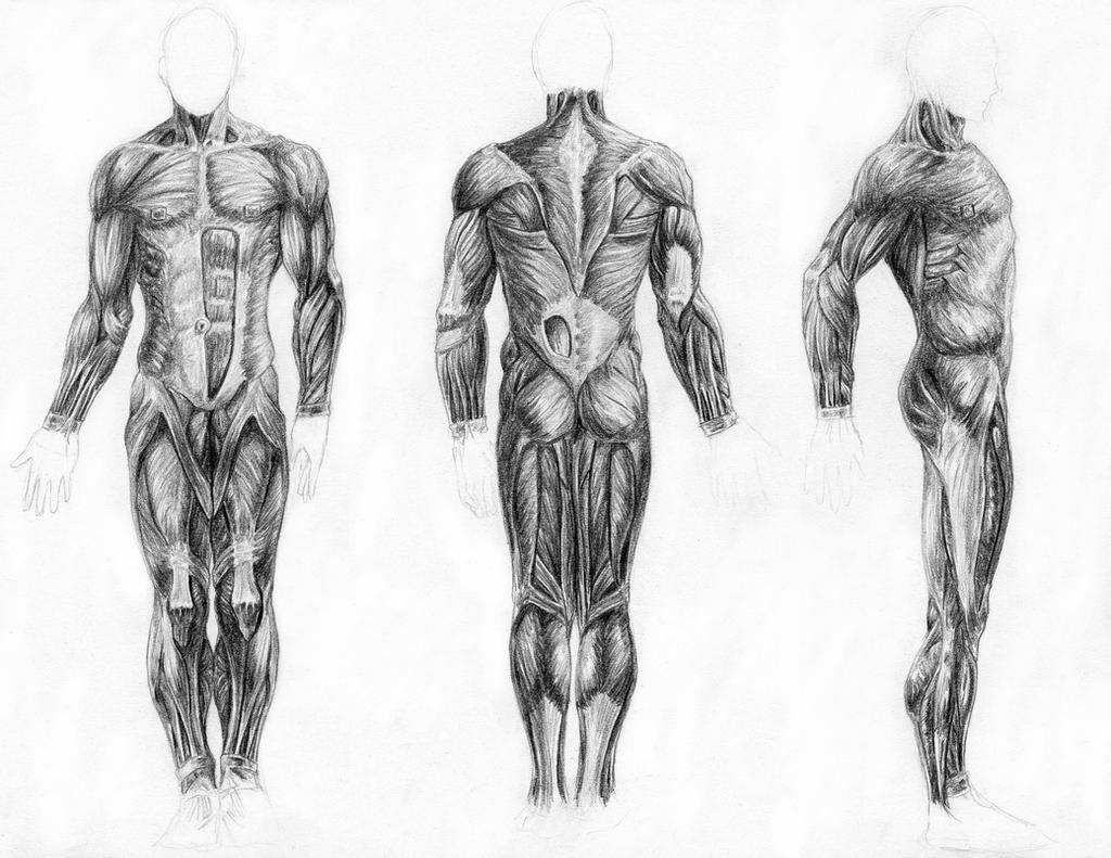 muscles of the body by arvalis on deviantart, Muscles
