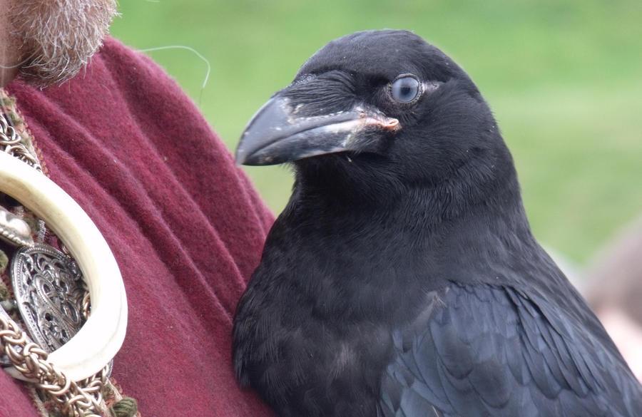 A Raven by Pretty-Shield