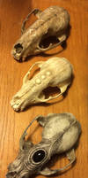 Three Raccoon Skulls