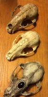 Three Raccoon Skulls