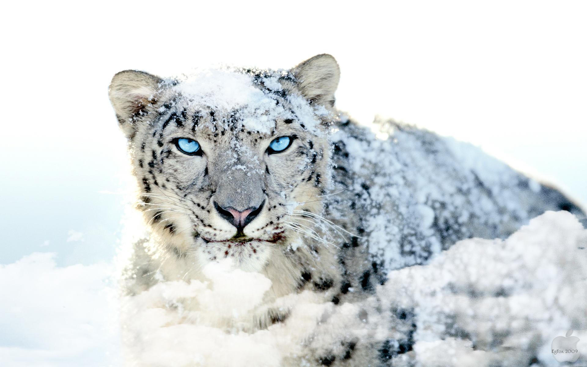 EgFox Snow Leopard HD Blue Eye by Eg Art Mükemmel HD Resimler