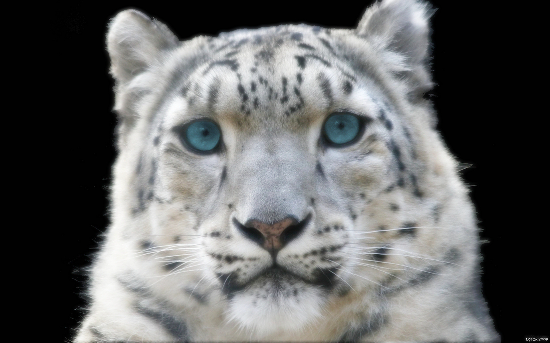 Snow leopard with blue eyes wallpaper snow leopard with blue eyes