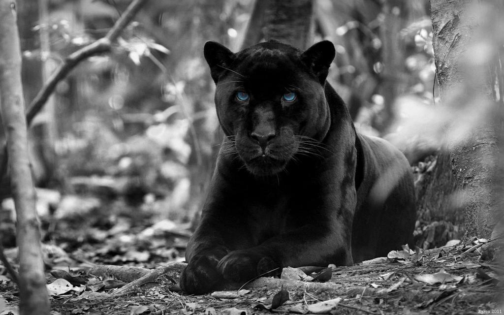 Egfox black panther hd by eg art on deviantart egfox black panther hd by eg art voltagebd Choice Image