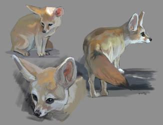 Fennec Fox Studies