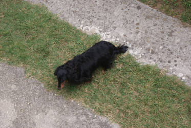 dachshund from above by Her-Redness