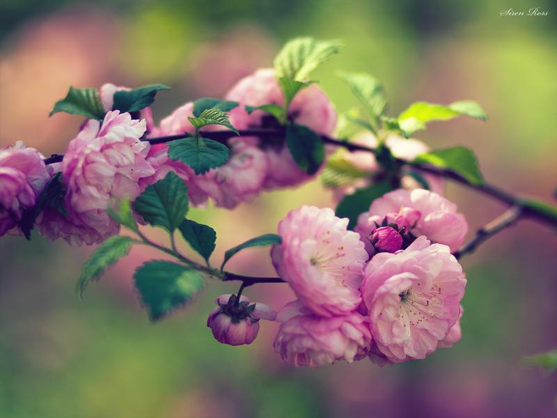Spring blossom 2 by SeaSiren