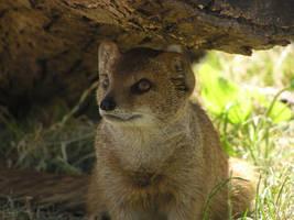mongoose by big-cat-photographer