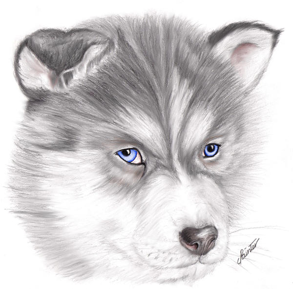 Cute Husky Puppy Drawings