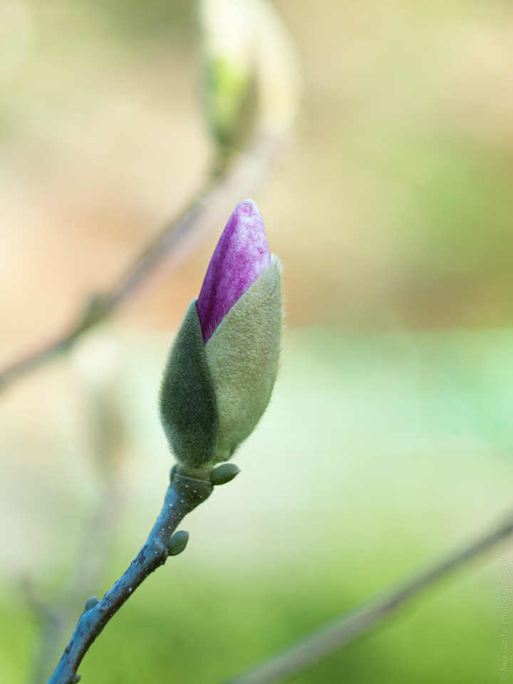 Magnolia bud by AlexGontar