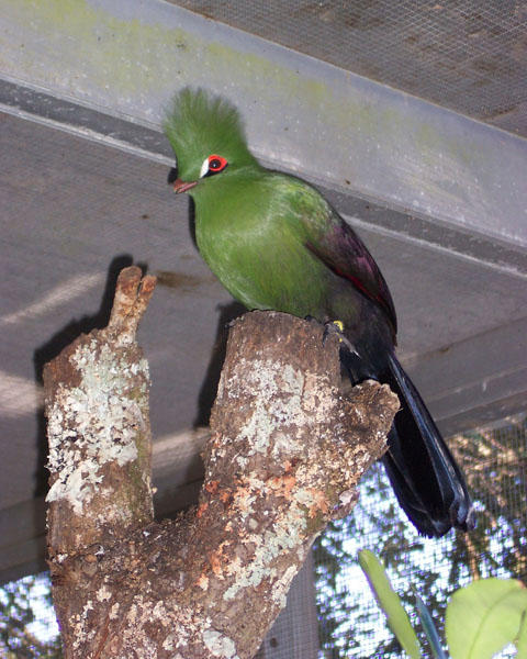 Gold Coast Turaco by DarkFeather