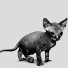 Sphynx Cat by givemyselthecreeps