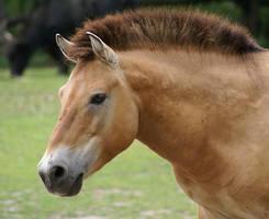 Horse by MarwariPL