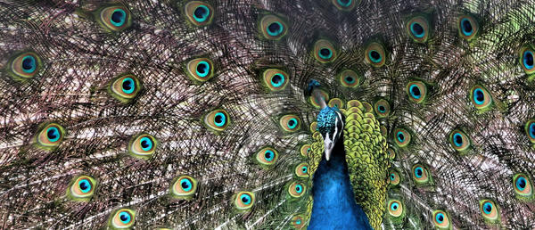 Peacock by Riotgurrl