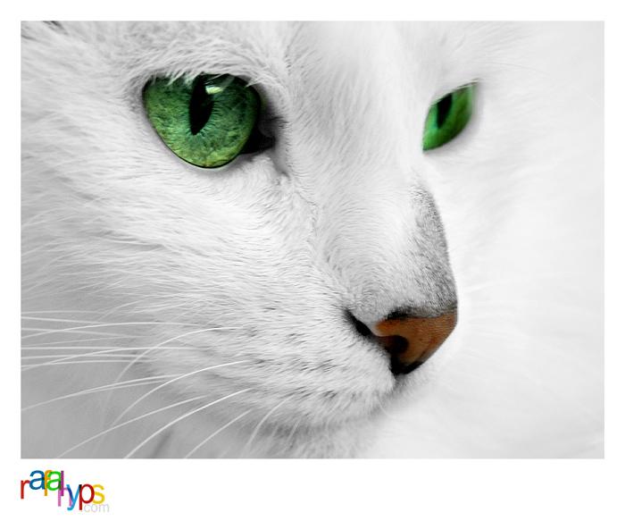 White Cat VI by rafalhyps