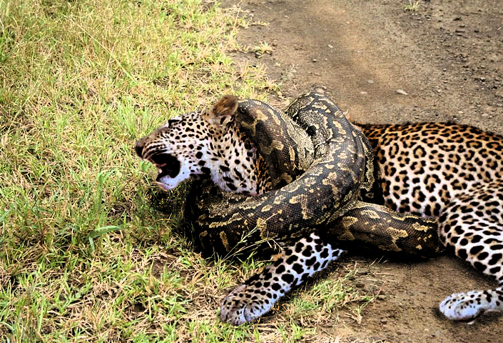 jaguar vs leopard with African Rock Python Vs Leopard 566622567 on King Tekken moreover Jaguar Panthera Onca additionally Difference Between Cheetah And Leopard as well Tarzan Wallpaper Wallpaper also Watch.