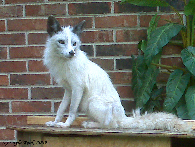 misty the marble fox 1 by malane3 on deviantart