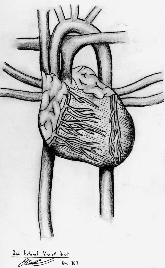 External Anatomy of Heart by John-Cannon on DeviantArt