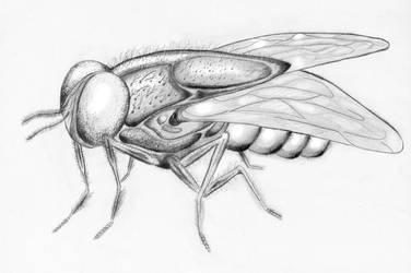 Housefly (Drosophila)