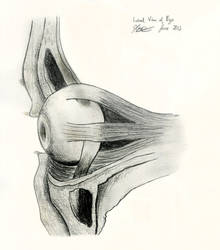 Lateral View of Left Eye