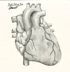 Heart, Anterior View