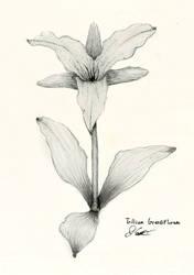 Thinking of Canada, Trillium Grandiflorum