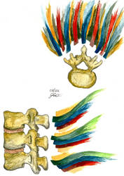Water-colour and Anatomy of Spinal Cord