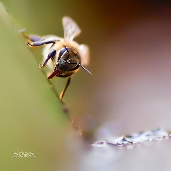 The Last Bee by ivya-cz