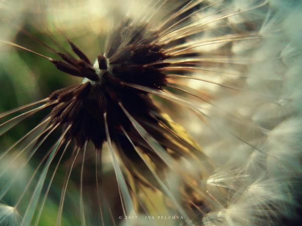 Dandelion by ivya-cz