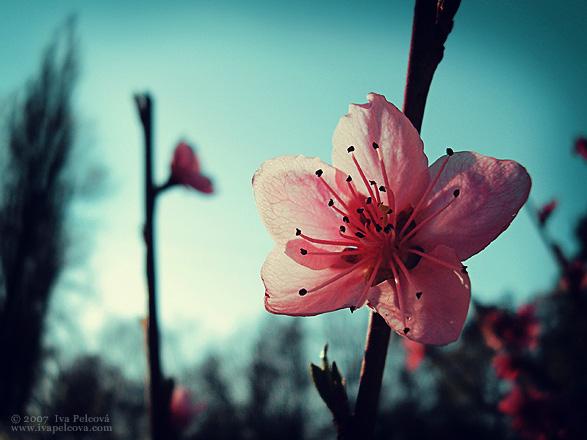 Pink Peach Blossom by ivya-cz