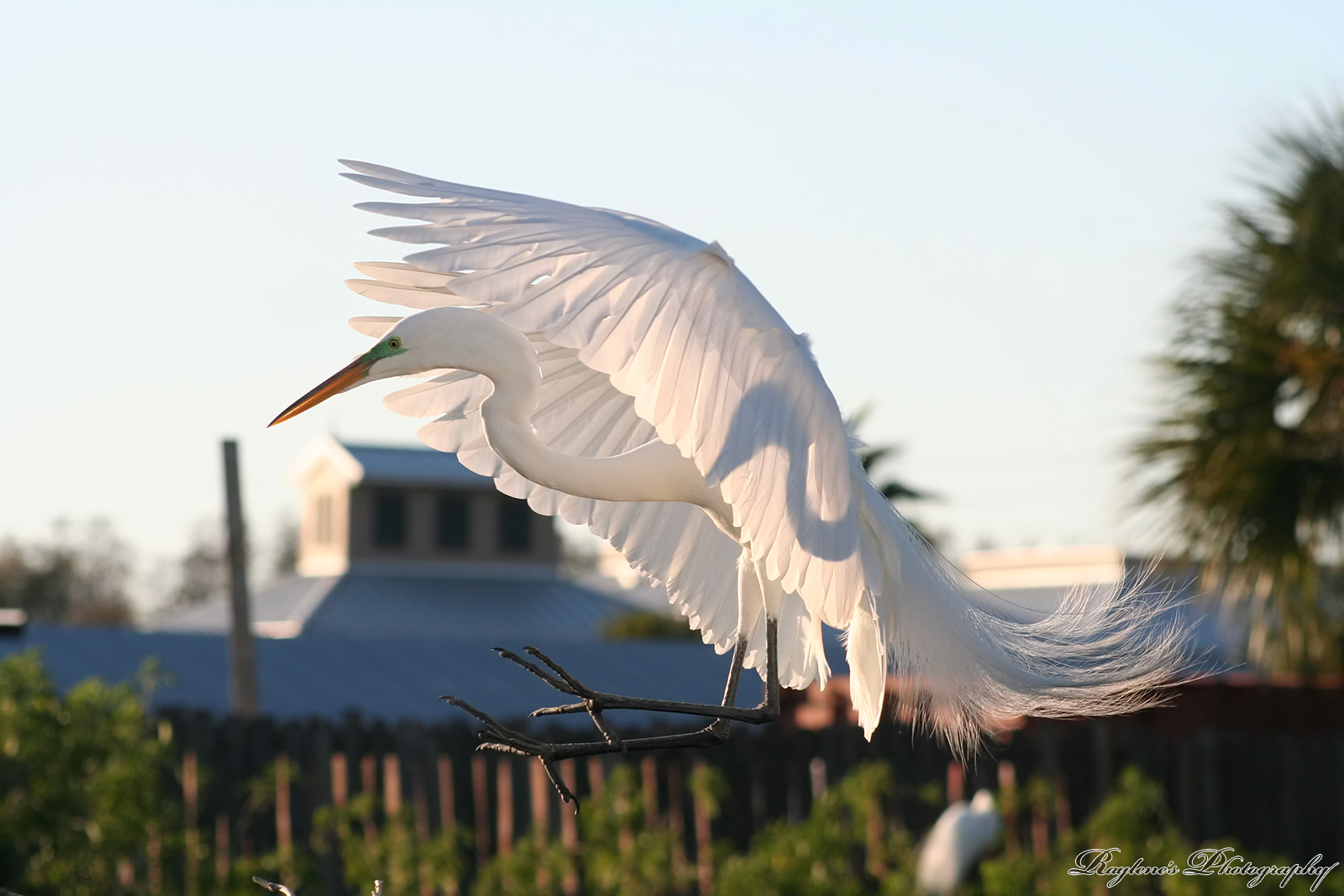 Great Egret in Mating Colors by RaylenesPhotography