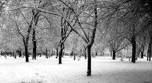 dark trees-light snow