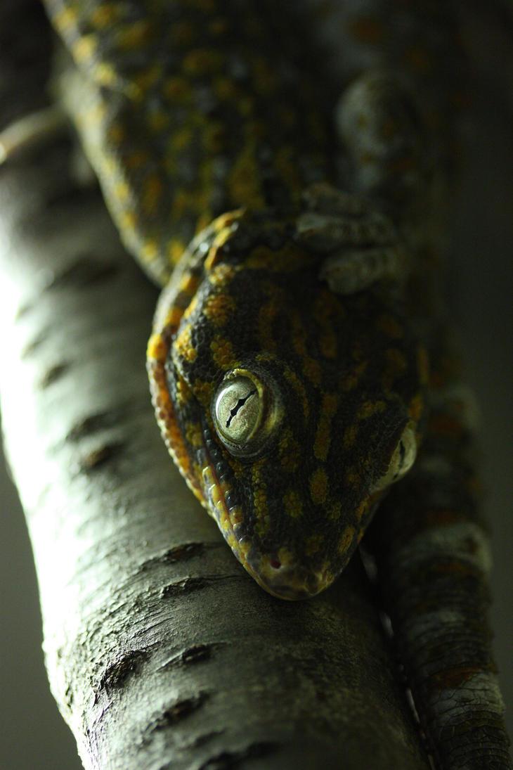 Tokay gecko by Hotenttotta