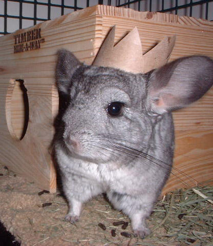 The King of Chinchilla Town by chinchilla madness - Kral Benim