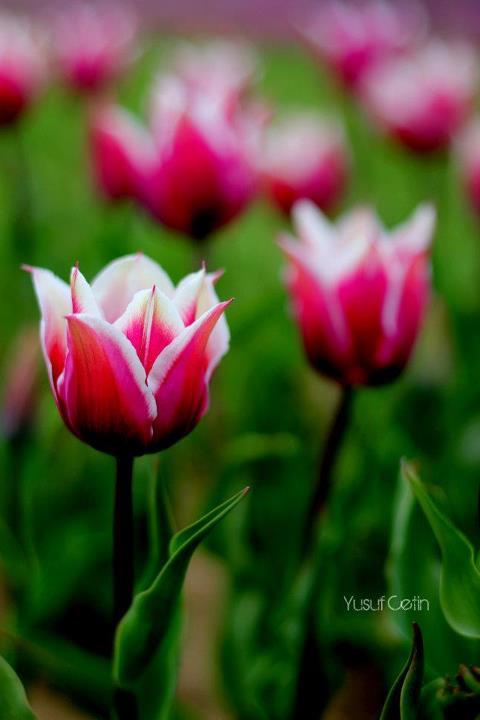 tulip by yusufcetin