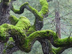 Twisted Tree and moss