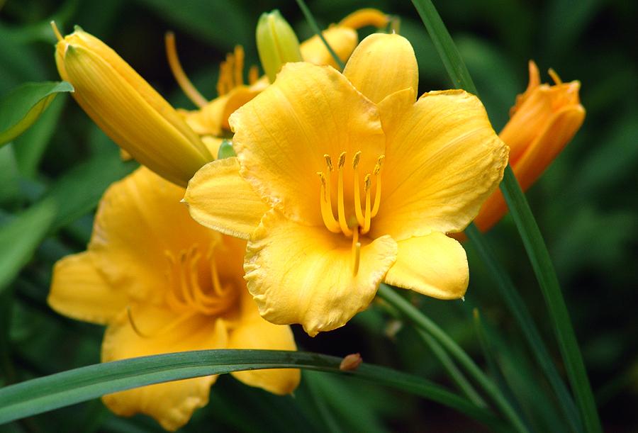 Golden Lily -- Closeup by babygurl83