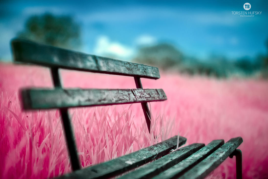 Bench within pink fields by Torsten-Hufsky